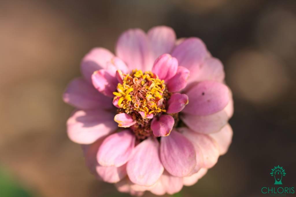Roze bloem tuinplant stuifmeeldraden close up macro gratis afbeelding