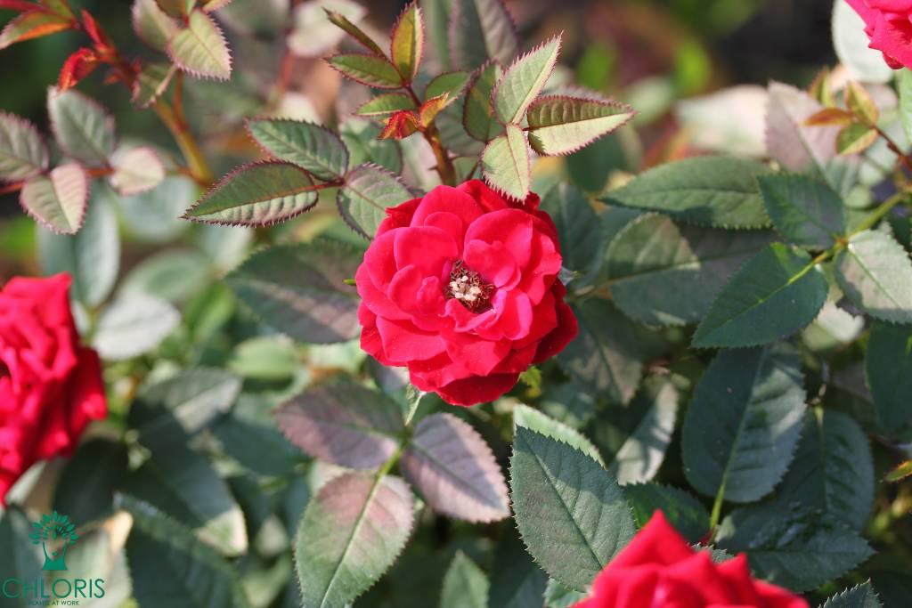 rode rozen mini roos gratis afbeelding free image